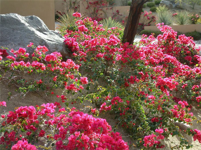 Plant photo of: Bougainvillea 'La Jolla'