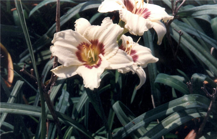 Plant photo of: Hemerocallis 'Pandora's Box'
