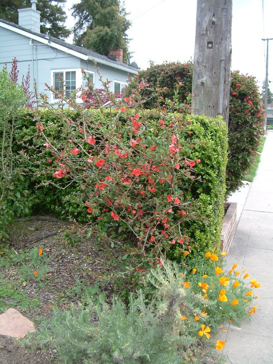 Plant photo of: Chaenomeles japonica