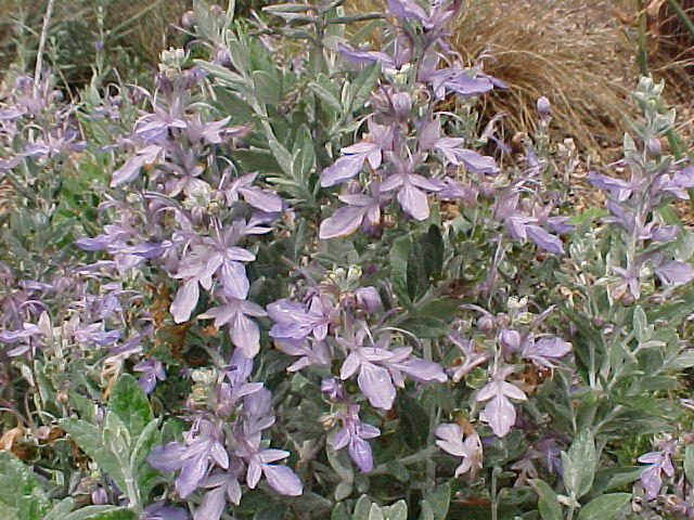 Plant photo of: Teucrium fruticans 'Azurea'