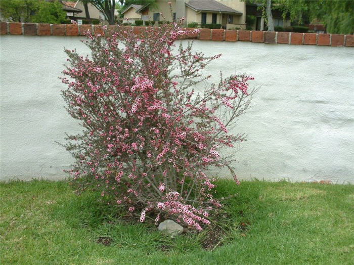 Plant photo of: Leptospermum scoparium 'Helene Strybing'