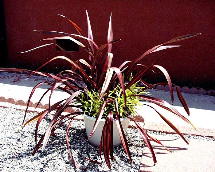 Plant photo of: Phormium 'Dazzler'