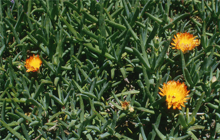 Plant photo of: Lampranthus aurantiacus