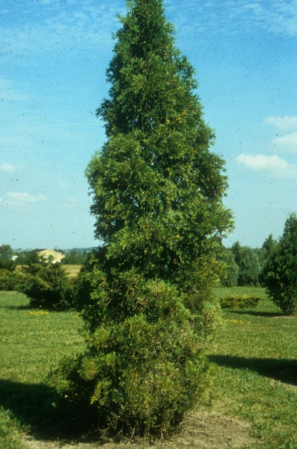 Plant photo of: Thuja occidentalis 'Hetz Wintergreen'