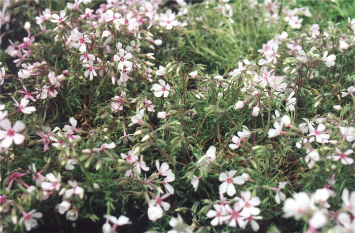 Plant photo of: Phlox subulata 'Apple Blossom'
