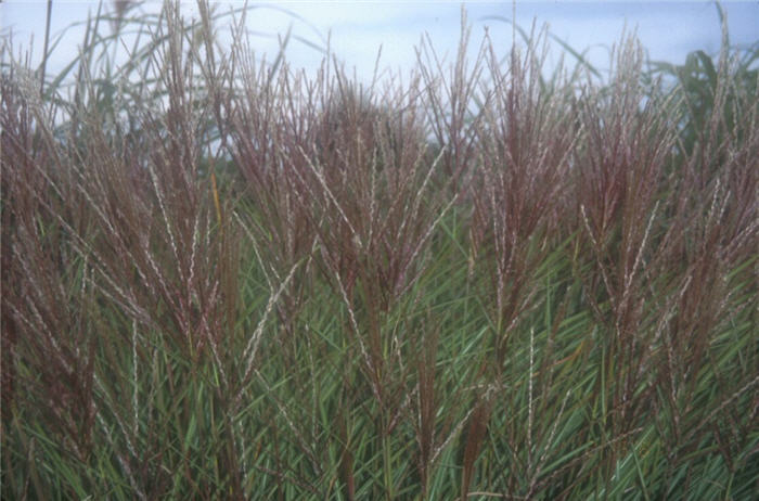 Plant photo of: Miscanthus sinensis 'Silberspinne'