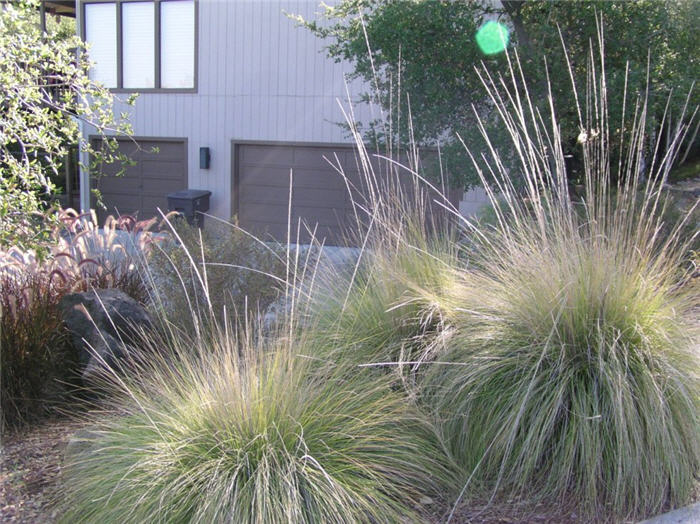 Plant photo of: Muhlenbergia rigens