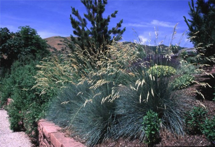 Plant photo of: Helictotrichon sempervirens