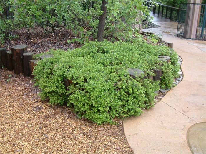 Plant photo of: Arctostaphylos 'Emerald Carpet'
