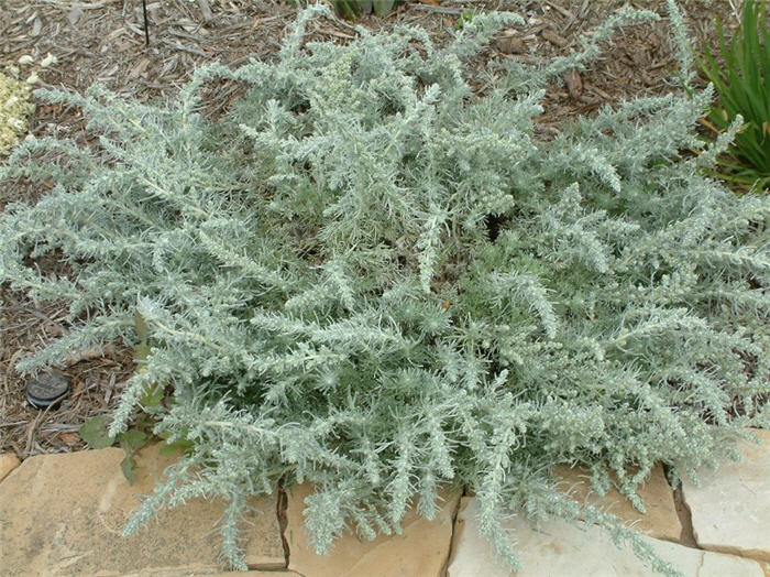 Plant photo of: Artemisia pycnocephala