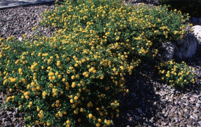 Plant photo of: Lantana 'New Gold'