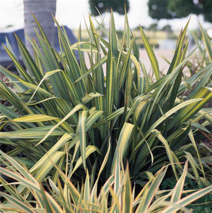 Plant photo of: Phormium 'Radiance'