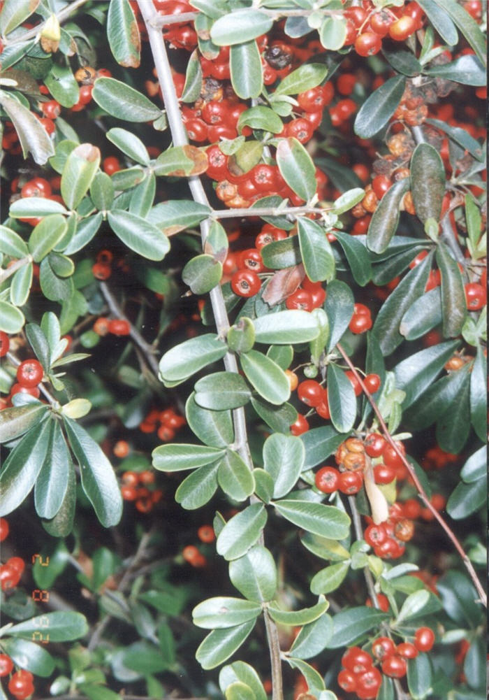 Plant photo of: Pyracantha koidzumii 'Santa Cruz'