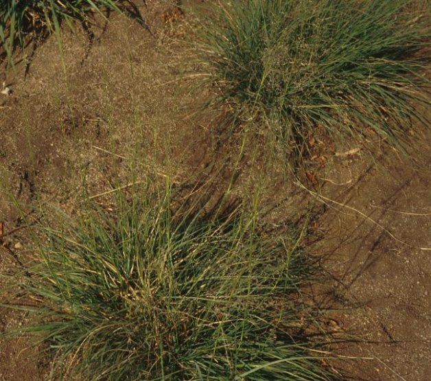 Plant photo of: Sporobolus airoides
