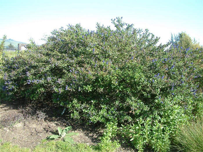 Plant photo of: Ceanothus gloriosus 'Anchor Bay'