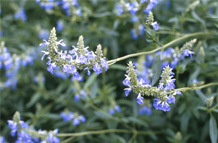 Plant photo of: Salvia uliginosa