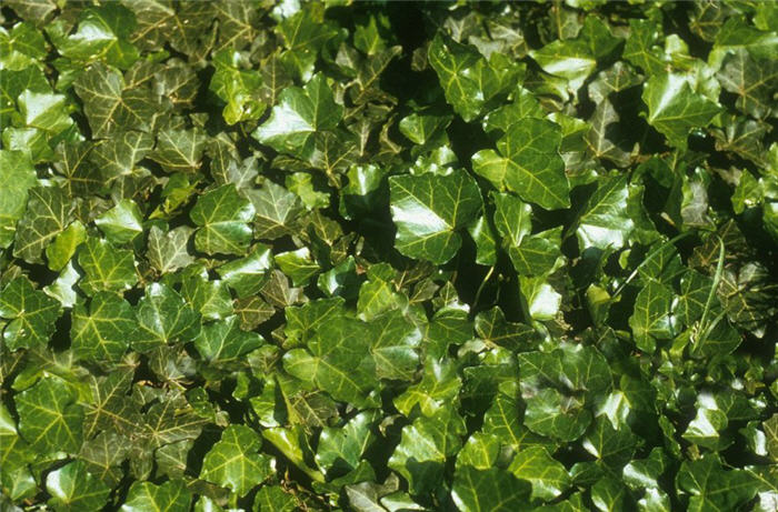Plant photo of: Hedera helix