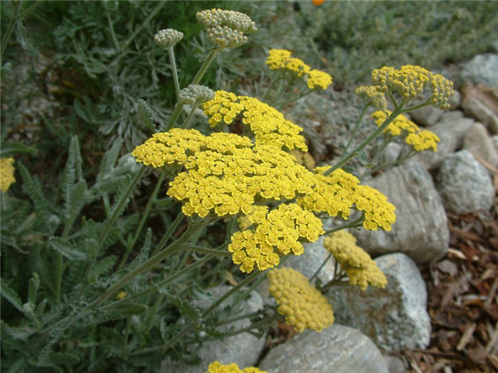 Plant photo of: Achillea X taygetaea 'Moonshine'