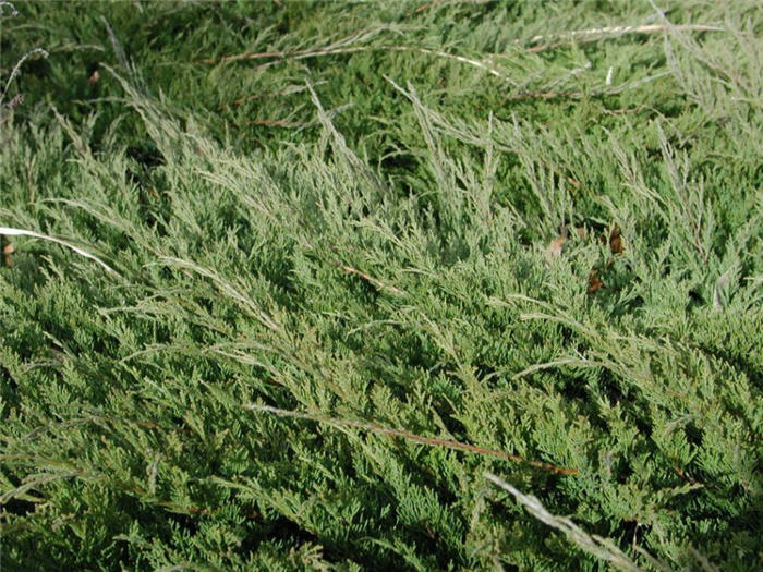 Plant photo of: Juniperus sabina 'Buffalo'