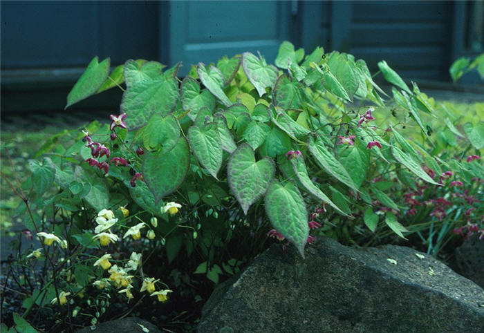 Plant photo of: Epimedium X rubrum