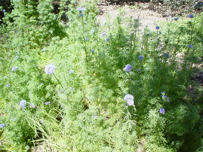 Plant photo of: Gilia capitata