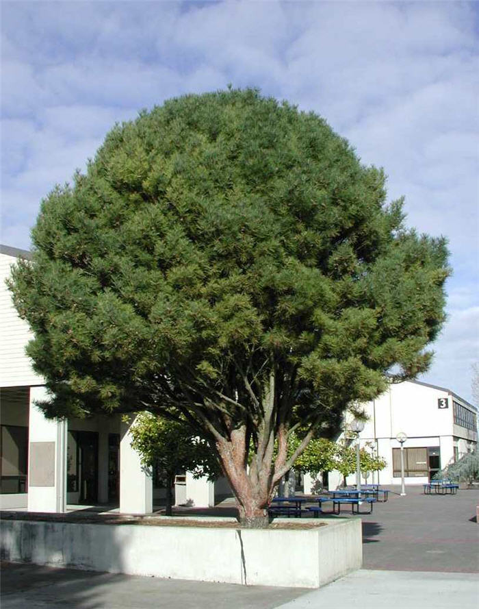Plant photo of: Pinus densiflora 'Umbraculifera'