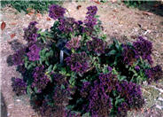 Common Heliotrope