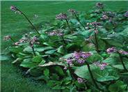 Heartleaf Bergenia