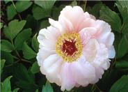 Goddess of Mt. E Mei  Tree Peony