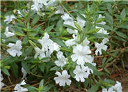 Mimulus 'Verity White'