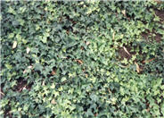 Hahn's English Ivy