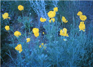 Mexican Tulip Poppy, Golden Cup